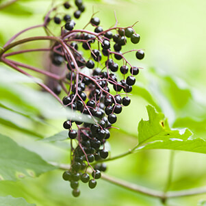 Elderberry: Benefits and Uses blog